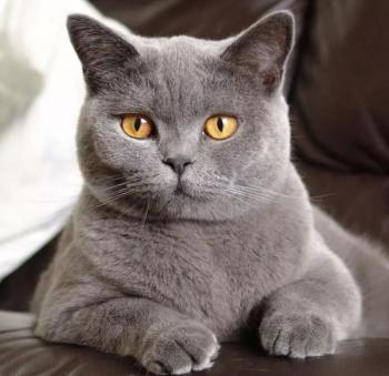 Кошки британские